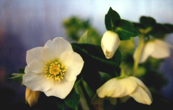 gele rand om rododhendronblad